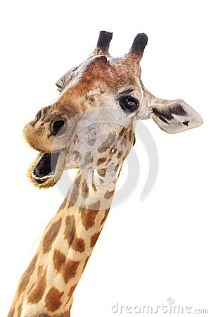 Free Giraffe Head Face Look Funny Royalty Free Stock Photography - 29822217