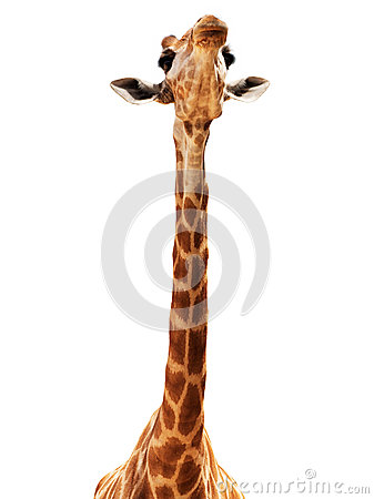 Free Giraffe Head Isolate On White Royalty Free Stock Photos - 24755088