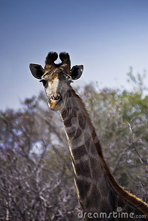 Giraffe - Head Shot
