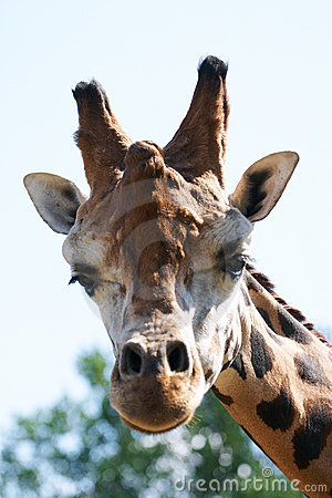 Giraffe head staring at camera.