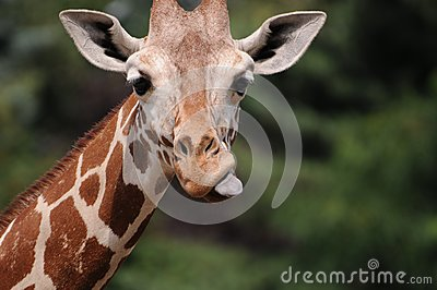 Giraffe head with visible tongue