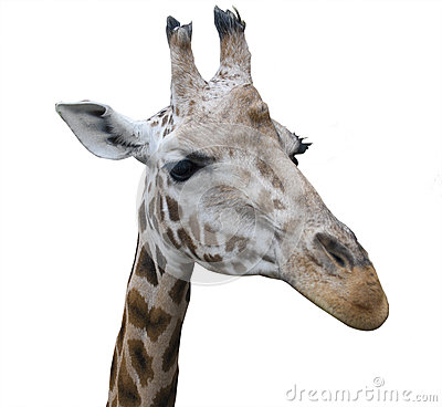giraffe head white background - photo #36