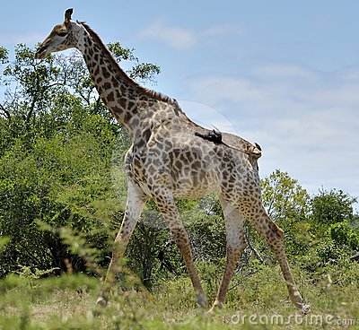 Giraffe in Hluhluwe-Umfolozi Game Reserve