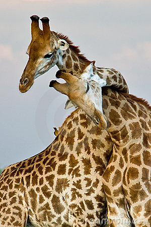 Free Giraffe Hug Royalty Free Stock Photography - 17877197