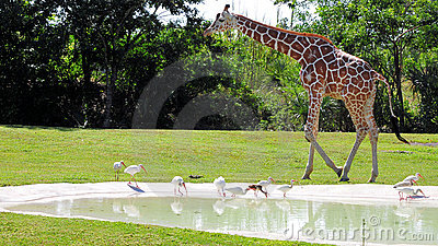 Giraffe & Ibises