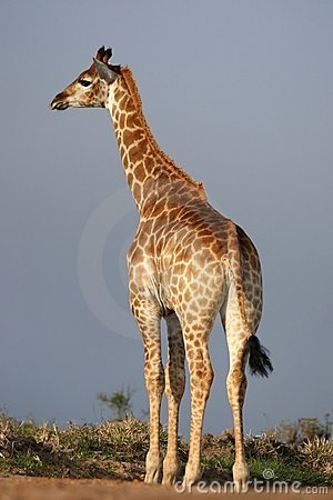 Free Giraffe In Africa Stock Image - 21722911