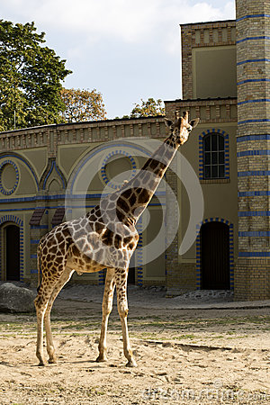 Free Giraffe In Berlin Zoo Royalty Free Stock Images - 78094039