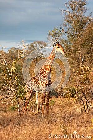 Free Giraffe In Sabi Sands Royalty Free Stock Image - 5514226