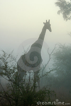 Free Giraffe In The Mist Stock Photos - 3734563