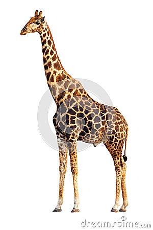Free Giraffe Isolated Stock Photos - 12314083