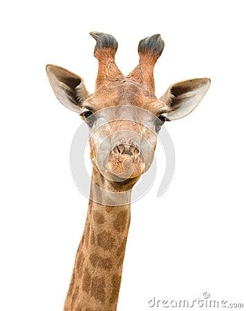 Free Giraffe Isolated Stock Image - 25844591