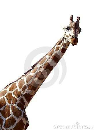 Free Giraffe Isolated On White Background Royalty Free Stock Photography - 1346367