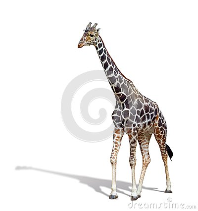 Free Giraffe Isolated On White Background. A Young Tall Giraffe With Royalty Free Stock Images - 109843409