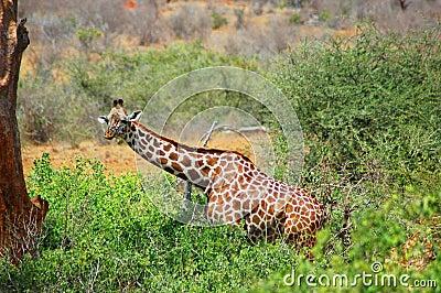 Giraffe in its natural habitat