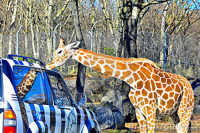 Giraffe kisses a jeep in fuji safari