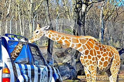 Giraffe kisses a jeep in fuji safari