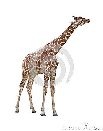 Giraffe kissing cutout