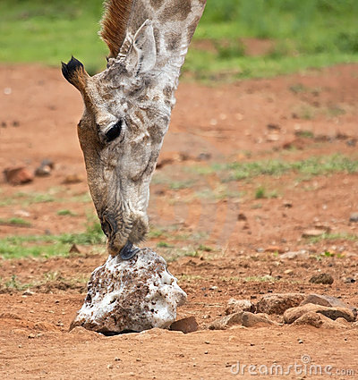 Giraffe licking salt on the ground