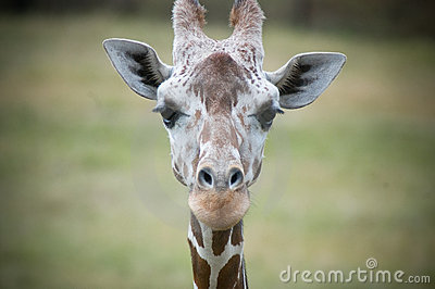 Giraffe Looking Into Camera