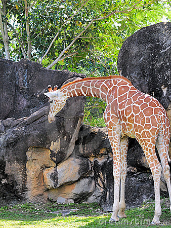 Giraffe Looking at the Ground