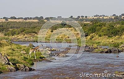 Giraffe at the Mara River