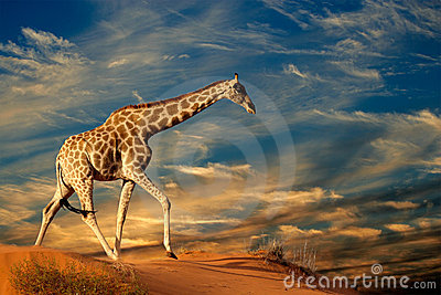 Giraffe na duna de areia