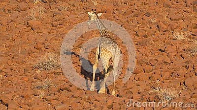 Giraffe in Namib