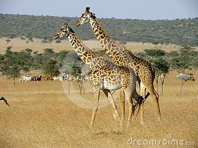 Giraffe in Ol Kineyi conservancy near Masai Mara ,