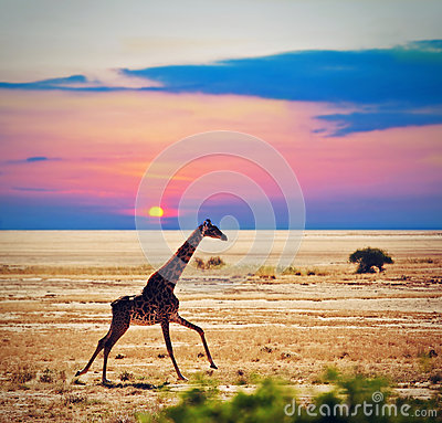 Free Giraffe On Savanna. Safari In Amboseli, Kenya, Africa Royalty Free Stock Photography - 29222097