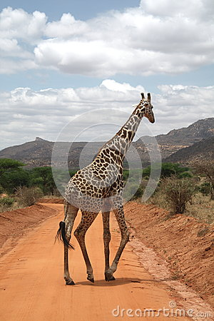 Free Giraffe On The Road Royalty Free Stock Image - 26532286