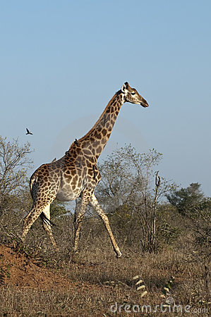 Giraffe with oxpeckers in Africa