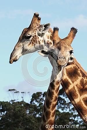 Free Giraffe Pair Stock Photos - 12773833