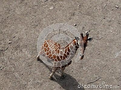 Giraffe perspective