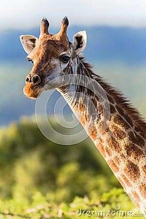 Giraffe Head Neck Animal