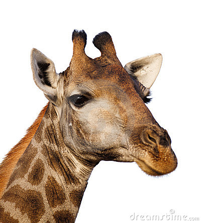 Free Giraffe Portrait Isolated Stock Image - 19937231