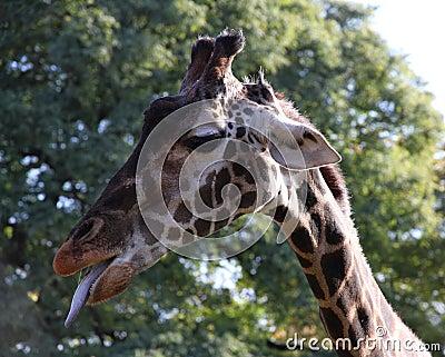 Giraffe  portrait in a profile