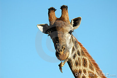 Giraffe with redbilled oxpecker