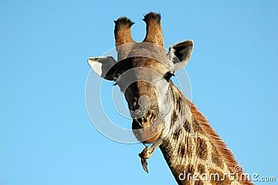 Giraffe with redbilled oxpecker