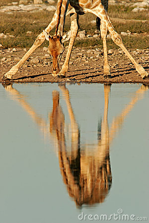 Free Giraffe Reflection, Etosha National Park, Namibia Stock Photos - 1417303
