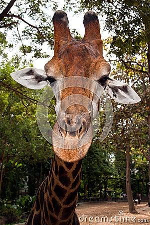 Giraffe s muzzle