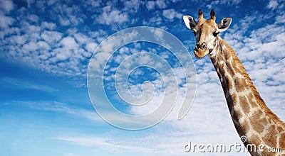 Giraffe s neck
