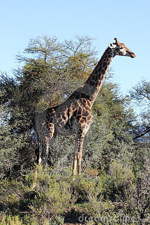 Giraffe in the Sanbona Wildlife Reserve