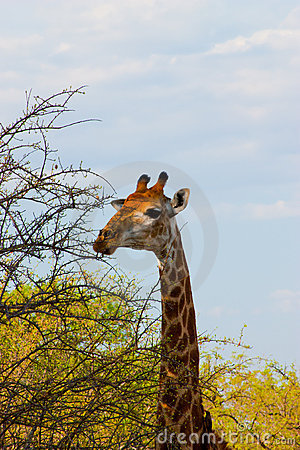 Giraffe sauvage