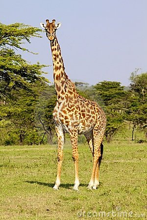 Giraffe on the savanna