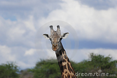 Giraffe in the savanna (Giraffa camelopardalis)