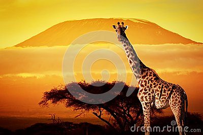 Giraffe on savanna. Mount Kilimanjaro at sunset