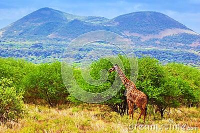 Giraffe on savanna. Safari in Tsavo West, Kenya, Africa