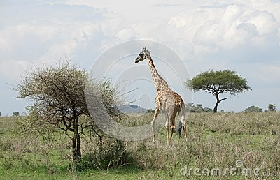Giraffe in the savannah