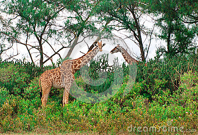 Giraffe selvagge nella savanna