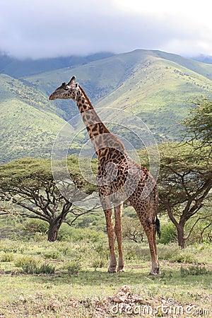Giraffe in the Serengeti